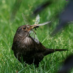 lunchtime (antjeduvel) Tags: food bird animal vogel merel catchoftheday outstandingshots canoneos400d