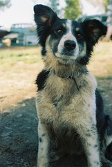 Miss Trouble! (..::K2::..) Tags: dog film 35mm canon bordercollie muddy t50