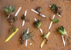 Un regalo de un buen amigo (Luis Borja) Tags: canarias tenerife canary succulents suculentas crasas xerojardinera