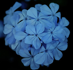 i cAn'T ReSiSt (sherrYgibsoN~here & there...) Tags: blue flower photoshop explore sherry 2009 plumbago 3661 project3652009 project36612009 3661days