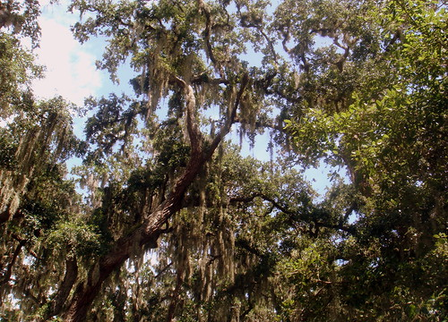 spanish moss hanging from the trees