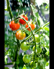 Cherry Tomatos (Pat Kilkenny) Tags: canon canon40d tomato tomatoe cherry cherrytomato august 2009 rain showers sprinkles water red green patkilkenny 50mm 14