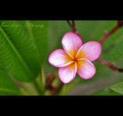 Perfect *PINK [ Explored] (Kanishka **) Tags: pink macro garden nikon focus soft dof bokeh bangalore canvas pinkflower closeups kanishka 50mmnikkor guhantara nikond3000
