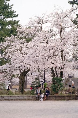 SAKURA - Odawara Castle by Lono_Luno