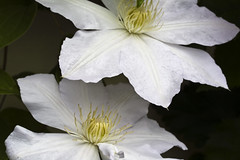 two tiers of white (Shotaku) Tags: flowers two white flower macro closeup garden spring vines duo pair clematis climbing 2011