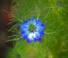 Blue Cornflower, vivid exposure (Steve W Lee) Tags: flower macro floral azul closeup germany flora estonia fremont twinings jfk farmville wildflowers unioncity wildflower chicory asteraceae macroshot cornflower bluebottle coyotehills blueflower macrophoto macrophotography flowerfestival basketflower bachelorsbutton nationalflower edibleflower flowerexhibit flowerheads cornflowerblue edibleplants ladygreytea twiningstea coyotehillsregionalpark coyotehillspark bluecornflower macrophotograph blueflowermacro boutonniereflower bayareaparks hurtsickle commoncornflower beneficialweed bayareaflora cyaniflower protocyanin kennedyflower farmvillecornflower