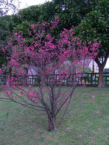大湖公園櫻花