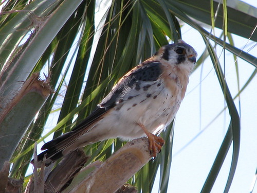 Blue Cypress Conservation Area, along the St. Johns River near Fellsmere, Florida. State Road 60 and County Road 512. This beautiful falcon had distinct