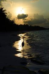 DSC_9329m (UbiMaXx) Tags: sunset bird beach island interesting nikon selection lagoon maldives maxx wader maldivian 2470 d700 afsnikkor2470mmf28ged ubimaxx