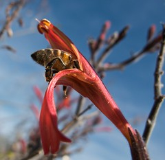 Bee's Knees (mrkungfu) Tags: arizona lake outdoors bee honey pollen bartlett bej