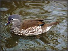 Guys Get All The Looks! (Fifi 1968) Tags: female duck lancashire mandarin wwt aixgalericulata martinmere