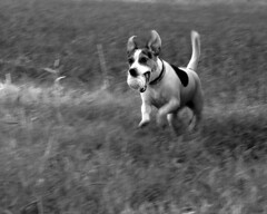 Lily (Misty Watson) Tags: blackandwhite dog animal georgia lily nikond70 pan panning fetch chickamaugabattelfield epiceditsselection