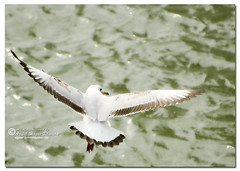Brown-headed Gull {Larus brunnicephalus} (- Ariful H Bhuiyan -) Tags: gull safari larus ridibundus teknaf brownheadedgull ttlsafari ttlsafari4