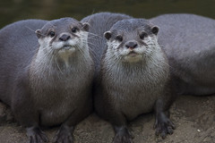 Otters Cheese! (sirca1) Tags: nature animal nice wildlife cristina otter otters nutria mamal nutrias mywinners arquimbau
