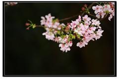IMG_8041 () Tags: sakura     is 1635ii 70200mmisf4