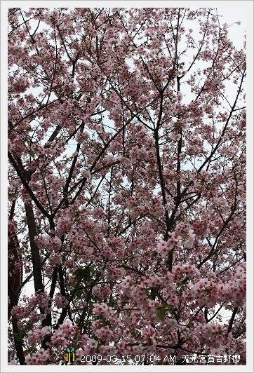 09.03.15 天元宮賞吉野櫻 (2)
