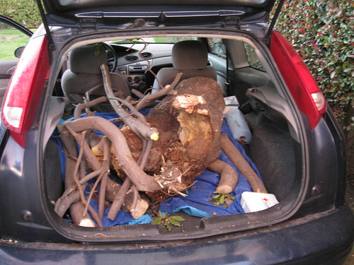 Pittosporum undulatum stump and branches in back of 2000 Ford Focus hatchback