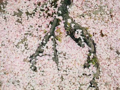 Лепестки Сакуры на земле