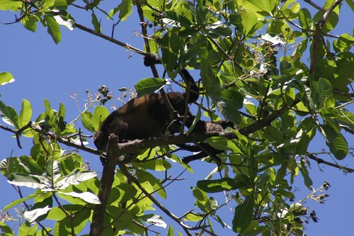 Howler monkey in the canopy, Llenos de Cortéz Falls - Costa Rica.