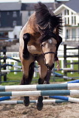 Rosscon Sunrise (Rozpravka) Tags: ireland horse fence jump pony connemara colt stallion buckskin dun connemarapony