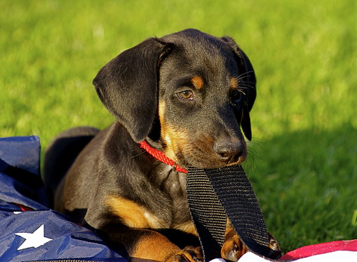 Pentax DA* 50-135mm f/2.8 on Doberman Puppies