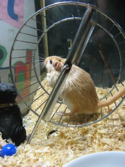 i get the feeling someone's watching me (dbgg1979) Tags: pets gerbil stewie