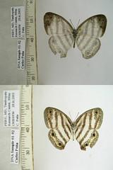 Euptychia spn2