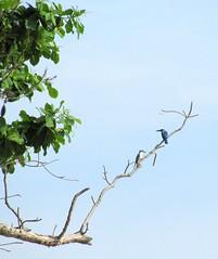 নীল আকাশে নীল মাছরাঙা