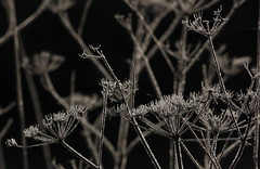 The mornings are still cold (tine krogh) Tags: plants cold nature weed natur pflanzen gimp planter kalt tine unkraut krogh koldt ukrudt