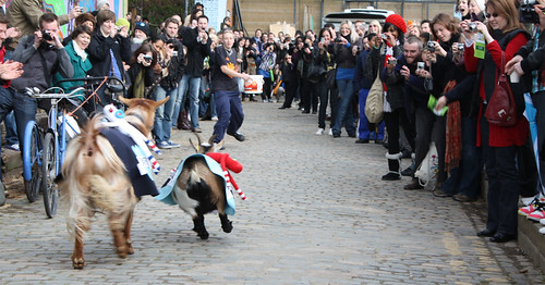 goat race in progress