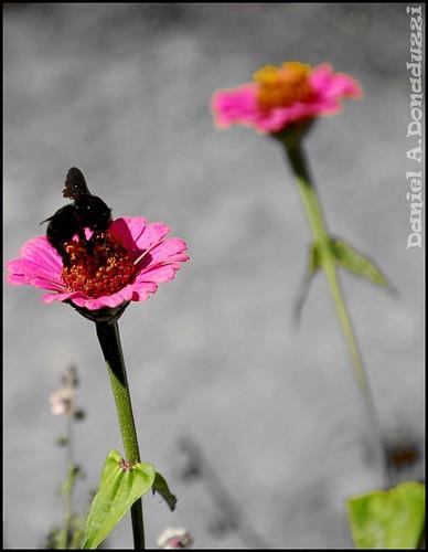 Zangão na Flor