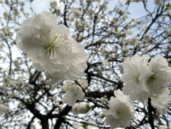Cherry Blossoms (Click to enlarge)