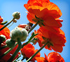 Giants Up Above • The Flower Fields, Carlsbad (Marcie Gonzalez) Tags: california above lighting county ca flowers blue light sky orange plants plant flower color green colors field canon botanical photography daylight petals stem san colorful natural bright many under over grow diego ranunculus petal southern greens stems coloring bloom fields destination growing oranges gonzalez blooms carlsbad brightness marcie attraction botanicals blooming the brights theflowerfieldscarlsbad marciegonzalez marciegonzalezphotography