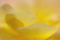 Yellow Rose Petal / close up - IMGP7661 (Bahman Farzad) Tags: macro up rose yellow closeup close peach upclose rosemacro closeuprose rosecloseup