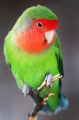 [フリー画像] [動物写真] [鳥類] [インコ科] [ボタンインコ/ラブバード]       [フリー素材]