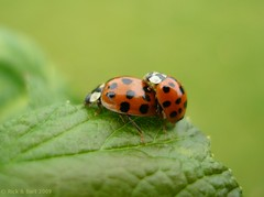 SPRING IS IN THE AIR ! (Rick & Bart) Tags: macro love nature insect spring beetle ladybugs ladybirds kever ladybeetles coccinellidae lieveheersbeestje uurbcei botg natureoutpost macrolife rickbart thebestofday gnneniyisi rickvink