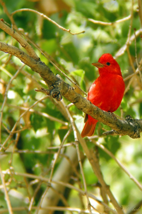 Summer Tanager 05091-2