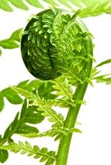 Awakening 2 (basimmons) Tags: fern macro green nikon explore nikkor nikkor105mm d80 beginnerdigitalphotographychallengewinner storybookwinner storybookttwwinner