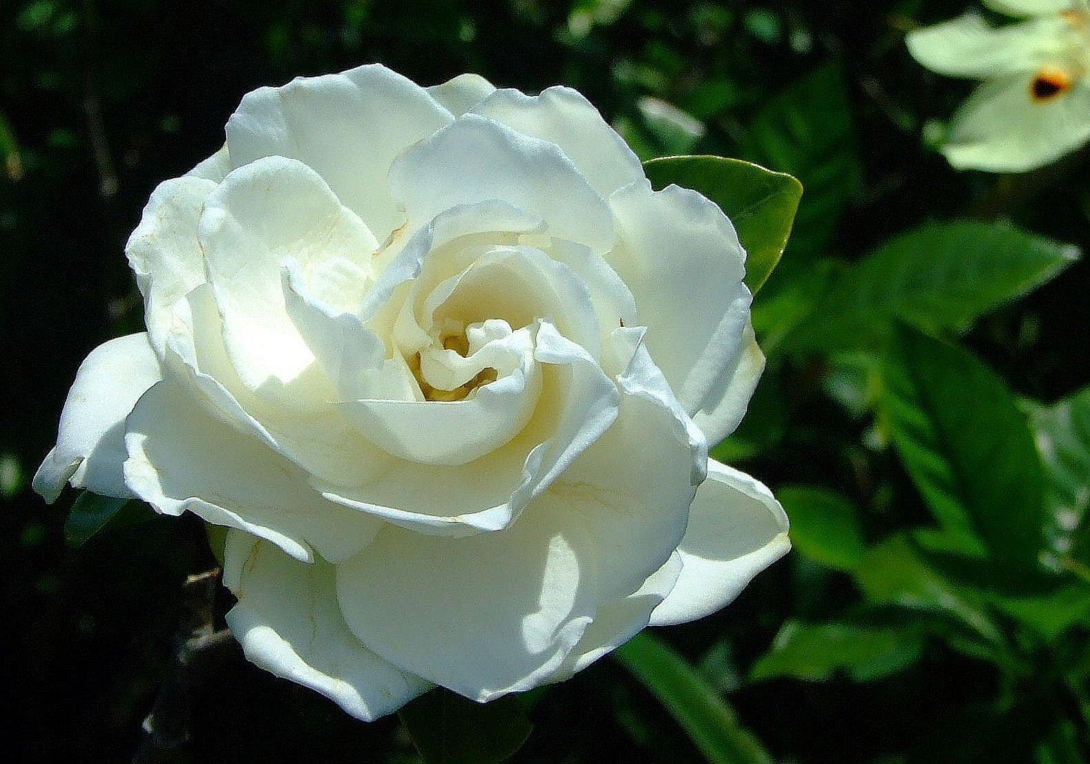 Gardenia image