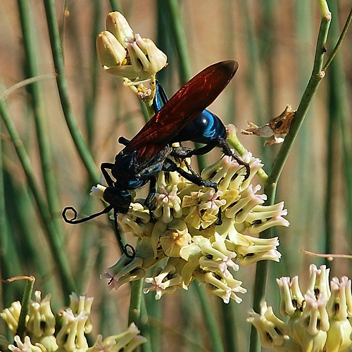 Tarantula Hawk - This thing was HUGE - the size of my hand!
