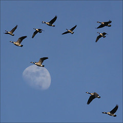 Fly me to the Moon… (NaPix -- (Time out)) Tags: blue sky moon lake canada nature birds sunrise canon landscape geese quebec action wildlife south flock north flight goose formation explore traveling awe flymetothemoon tms migrating uplift tellmeastory flyawayhome explored flyinginavformation canonef70200mmf4lisusm fbdg napix canoneosdigitalrebelxsi uleftmeinawe lspwsoul travelsofhomerodyssey mexico–canadamigration us–canadamigration virgiliocompany brandacanadensis