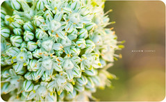 Allium Cepa (Onion) (isayx3) Tags: light red white plant flower color macro green closeup nikon memorial natural bokeh vegetable fresh micro gradient onion nikkor d3 3x multiplier alliumcepa plainjoe 35mm135mm isayx3