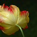 The Tulip:May 22