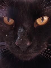 cara de malo (esquizobestia) Tags: black macro face yellow cat blackcat eyes chat negro amarillo ojos gato felino cateyes gatonegro