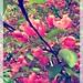 Blossoming apple tree-2