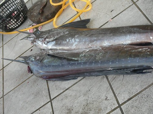 後壁湖-旗魚