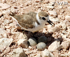 Precious Stones (WanderWorks) Tags: shadow wild bird nature sunshine three sand rocks desert nest outdoor stones wildlife feathers mother shell aves east camouflage eggs middle lesser oiseau huevo plover ei qatar oeuf ibon incubation  wader kentishplover kentish charadriusalexandrinus incubate  alexandrinus charadrius itlog      charadriusalexandrinusalexandrinus   dsc6429nc1hmg3