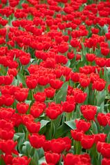 Red Tulips (wenzday01) Tags: park travel flowers red hk flower nature hongkong victoriapark nikon tulips tulip nikkor  causewaybay flowershow d90 nikond90 2009flowershow 18105mmf3556gedafsvrdx