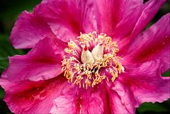 Wild or tame flower? (KurtQ) Tags: pink flowers scarlet sweden may 09 awesomeblossom bergianska paeoniaofficinalis kurtq photosick