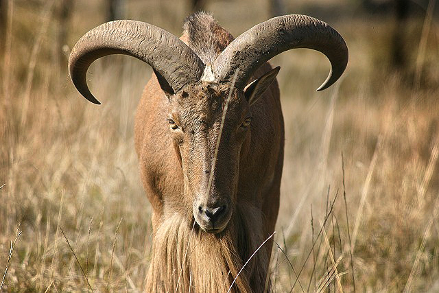 Aoudad or Barbary Sheep